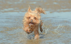 "Yorkie Playing Splish Splash ... (TopSausageLobber) Tags: mountains sky cloud wales england scotland water lakes sea beaches birds dogs usa autumn winter spring summer love women sex trees flowers animals snowdonia lakedistrict river stream nikon canon fujixt nationaltrust englishheritage lighthouse light dark nude waterfalls castles birdsofprey sheep yorkie ""yorkshire terrier"""