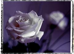 les roses aussi rêvent… (JJ_REY) Tags: colmar alsace france rose instantfilm fuji fc100c45 45a toyofield sironarn 150mmf56 epson v800 roidweek spring2017