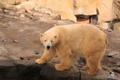 Erlebniszoo Hannver 15.04.2017 093 (Fruehlingsstern) Tags: eisbären polarbear sprinter melana elefanten seelöwen weiskopfseeadler yukonbay erlebniszoohannover hannover canoneos750 tamron16300 zoo