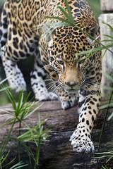 Walking over the branch (Tambako the Jaguar) Tags: walking gettingdown log branch wood tree vegetation portrait male jaguar onca big wild cat jacksonvillezoo jacksonville zoo florida unitedstates america usa nikon d5