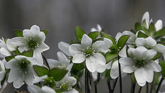 White Hepatica (woodchuckiam) Tags: hepatica flower plant springephemeral spring white blossoms bokeh woodchuckiam wildflower