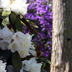 Glimpse (Andrew Gustar) Tags: westonbirt arboretum white rhododendron blossom blue tree