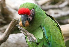 Military Macaw Claw (Ger Bosma) Tags: 2mg105452klf soldatenara aramilitaris militarymacaw kleinersoldatenara aramilitaire guacamayomilitar guacamayoverde papagayoverde macaw parrot claw eating feeding but walnut