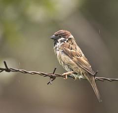 Straight from bath (hedera.baltica) Tags: sparrow treesparrow eurasiantreesparrow wróbel mazurek wróbelmazurek passermontanus