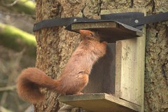 Checking it Out (Sybalan,) Tags: benmoregardens argyll rbge red squirrel trees tranquility httpsybalanphotographyweeblycom cowal canon hide feeding feeders 760d 55250mm mammal outdoor cute furry