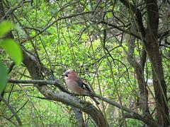 IMG_7236_Fotor01 (Ela's Zeichnungen und Fotografie) Tags: hannover landschaft natur tier vogel eichelhäher baum blätter äste sonnenlicht