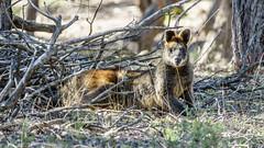 Swamp Wallaby (CedricBear) Tags: wildlife australiancapitalterritory australia au swampwallaby wallabiabicolor