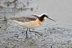 Wilson's Phalarope (Alan Gutsell) Tags: wilsons phalarope wilsonsphalarope shorebird wader alan wildlife nature migration texas bird anahaucnwr nationalpark