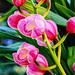 Cymbidium aka boat orchid
