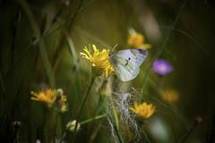 ... (Theophilos) Tags: butterfly flowers spring nature πεταλούδα λουλούδια άνοιξη φύση