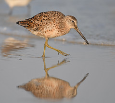 Short-billed Dowitcher (Digital Plume Hunter) Tags:
