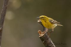Still here... (dbifulco) Tags: piwa bird male nature newjersey pinewarbler spring wildlife yard