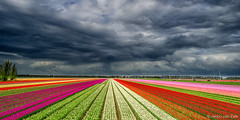 Rainclouds over tulip fields (© Jenco van Zalk) Tags: storm rain clouds cloudscape tulip tulips tulipa colors weather flower bloom yellow white purple red orange typical dutch netherlands bloemen tulpen tulpenroute tulp flevoland landscape