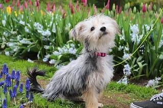 Puppy in Tulip field