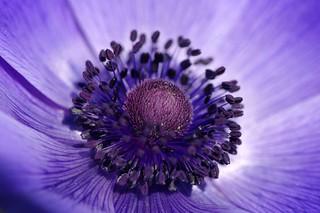 Purple heart - Le coeur violet