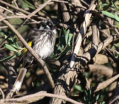 Trying to hide.... (HPVD Photos) Tags: newhollandhoneyeater phylidonyrisnovaehollandiae canon 5d 1400s f71 iso500 fl400mm birds native