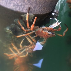 Spider crabs on the pylons at Kettering marina.