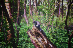 Woodland Friend (295cfp) (Clive Varley) Tags: greysquirrels gimp295partha nikcolorefexpro