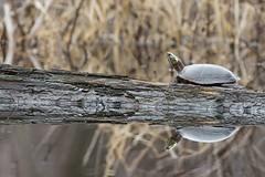 Tortue à oreilles rouges /  red-eared slider. (ALLAN .JR) Tags: tortue turtle wildlife nature ile stbernard nikon québec spring water