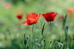 Poppies (ciccioetneo) Tags: nikond7000 poppies poppy bokeh shallowdephtoffield shallowdof borgofranchetto franchetto catania sicilia sicily country countyside ciccioetneo creamybokeh depthoffield nikon85mmf18d