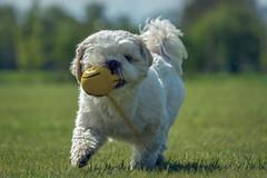 dog-0427 (EB_Creation) Tags: garden dog playing toy outdoor outside green grass white shihtzucentral shih shihtzu tzu yellow nikon nikond7100 nikkor 2401200mmf40 lens camera moving spring 2017 f40 digital pet