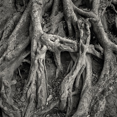 Roots, study 5  (Hasselblad 503, Ilford Pan F Plus 50, Tetenal Ultrafin) (alejandro lifschitz) Tags: lifschitz black white blanco negro chimney argentina outdoor hasselblad square lightroom photoshop silver efex pro epson 850 monochrome photo border buenos aires shadows sombras tetenal ultrafin park plaza bush roots raices ilford pan f plus 50 trunk tronco texture tree wood