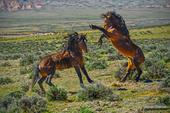 Fighting Stallions (kevin-palmer) Tags: cody greybull wyoming blm friendsofalegacy wild horses mustangs animals wildlife spring april sunny brown stallions fighting sparring green sagebrush mcculloughpeaksmustangs nikon180mmf28 telephoto