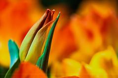 Dancing Flames (Light Echoes) Tags: winter red orange plant flower macro philadelphia yellow march nikon tulip bud 2014 philadelphiaflowershow d90