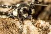 Thyris sepulchralis – Mournful Thyris Moth (Wes Edens) Tags: thyris sepulchralis – mournful moth 201404 butterflies
