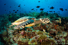Hawsbill Turtle & Bunaken Island (Jim Patterson Photography) Tags: ocean wild nature water indonesia outdoors marine underwater dive wideangle scuba diving pacificocean southpacific tropical aquatic northsulawesi tropics southseas bunakenmarinepark sachikos jimpattersonphotography jimpattersonphotographycom seatosummitworkshops seatosummitworkshopscom