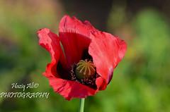 POPPY (haziq ali) Tags: pakistan red flower macro nature islamabad ppa
