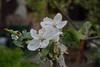 Apfelblüten (陈霆, Ting Chen, Wing) Tags: flower appel 花 blume apfel 苹果