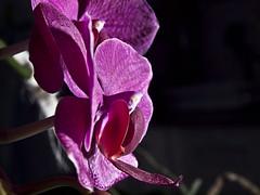 Orqudea. (cachanico) Tags: flowers flores orchid flower fleur fleurs orchids flash flor olympus fiori fiore orqudeas teruel e30 orchides orchide orqudea nissin orchidea aragn zd1454 nissindi466 cachanico