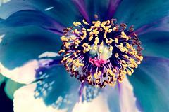 Rhapsody in Blue (charhedman) Tags: blue shadow flower petals purple center stamens