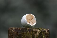 S  casca do ovo (Diego Costa..) Tags: de huevo eggshell coquille cscara  duf