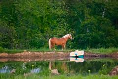 pony & paddle boat (IndyEnigma) Tags: reflection tree spring pond indiana pony grainy paddleboat equine d80