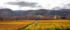 Dry Creek Fall Color #2 (Tom Moyer Photography) Tags: california fall vineyard vines fallcolor sonomacounty winecountry drycreekvalley
