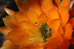 Adjusting This Heavy Cactus Pollen Load (Chic Bee) Tags: arizona cactus insect tucson sonorandesert pollination southwesternusa insectidentification orangetorchcactus
