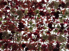 Dangling amaryllis frenzy (shaggy359) Tags: show above flowers red plants white plant flower london chelsea display amaryllis hanging gran pavilion suspended dangle dangling hang rhs 2014 suspend