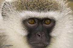 IMG18286 (Arno Meintjes Wildlife) Tags: africa nature animals southafrica safari krugerpark kruger arnomeintjes weldlife