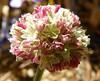 Eriogonum ovalifolium var. nivale 100_0942 (sierrarainshadow) Tags: eriogonum var ovalifolium nivale