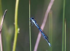 Damsel fly in the evening sun