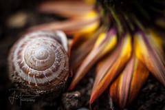 Essence (Photography by Jonathan Willner) Tags: park lighting flower macro nature beautiful closeup canon 50mm soft shell snail natgeo extensiontubes