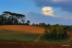 Campo Magro PR (Sidney Scheinkman) Tags: sunset nature paran clouds rural natureza prdosol campo araucria pinheiro agricultura campomagro