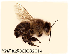 Bee (farmer dodds) Tags: bees insects bee honey british miningbee anthophila britishminingbee