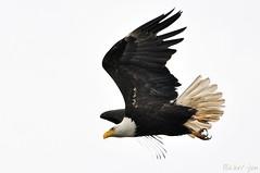 2014-06-13 Bald Eagle (04) (-jon) Tags: bird flying eagle flight baldeagle raptor pugetsound sanjuanislands anacortes washingtonstate haliaeetusleucocephalus birdofprey skagitcounty salishsea padillabay fidalgoisland marchpoint fidalgobay a266122photographyproduction