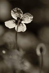 fleurs-spias-03 (Jean-Paul953) Tags: fleurs contrejour spia