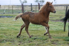 Bjrk Keimur 2 (Kjartansstadir Breeding Farm) Tags: b horses sport for iceland sale 5 top quality south 4 competition breeding v1 t1 t2 icelandic gaited a flokkur gingakeppni