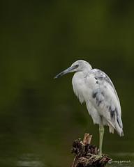 Little Blue II (craig goettsch) Tags: bird nature nikon florida wildlife ngc sanibelisland avian d610 dingdarlingnwr avianexcellence juvenilelittleblueheron usnwr