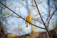 Yellow Bird (Saptashaw Chakraborty) Tags: canada bird yellow canon pointpelee 50d eos50d 55250mmis